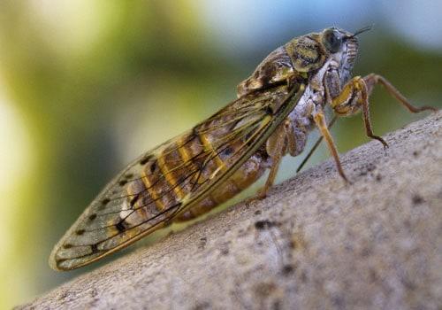 foto de adulto da espécie Quesada gigas