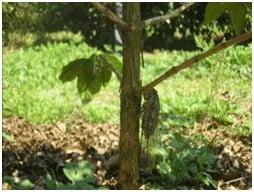 Cigarra-do-cafeeiro em planta de cafeeiro