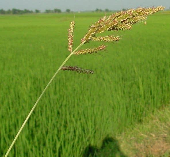 foto de Capim-arroz (Echinochloa crus-galli) - plantas daninhas do arroz