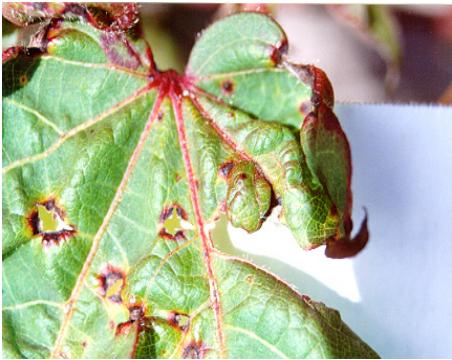 foto de ramulose - doenças do algodão