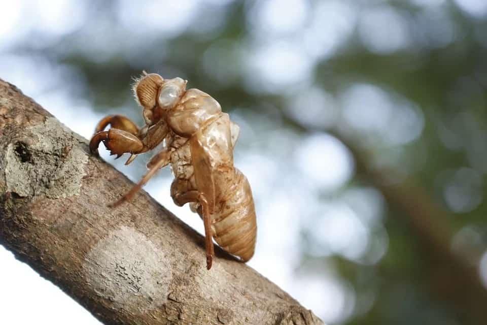 foto de Exúvia de cigarra em um tronco