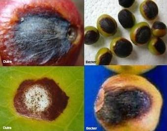 doença Cercosporiose em frutos