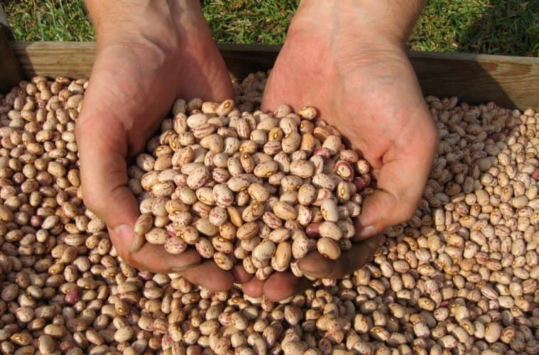 colheita do feijão