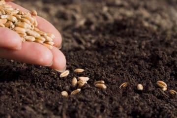 cultivares de trigo
