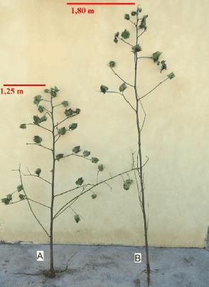 fotos de controle eficiente (A) e controle ineficiente (B) de altura por meio do uso de regulador de crescimento