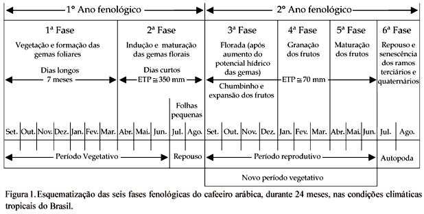 Esquematização das seis fases fenológicas do cafeeiro arábica, durante 24 meses, nas condições climáticas tropicais do Brasil.