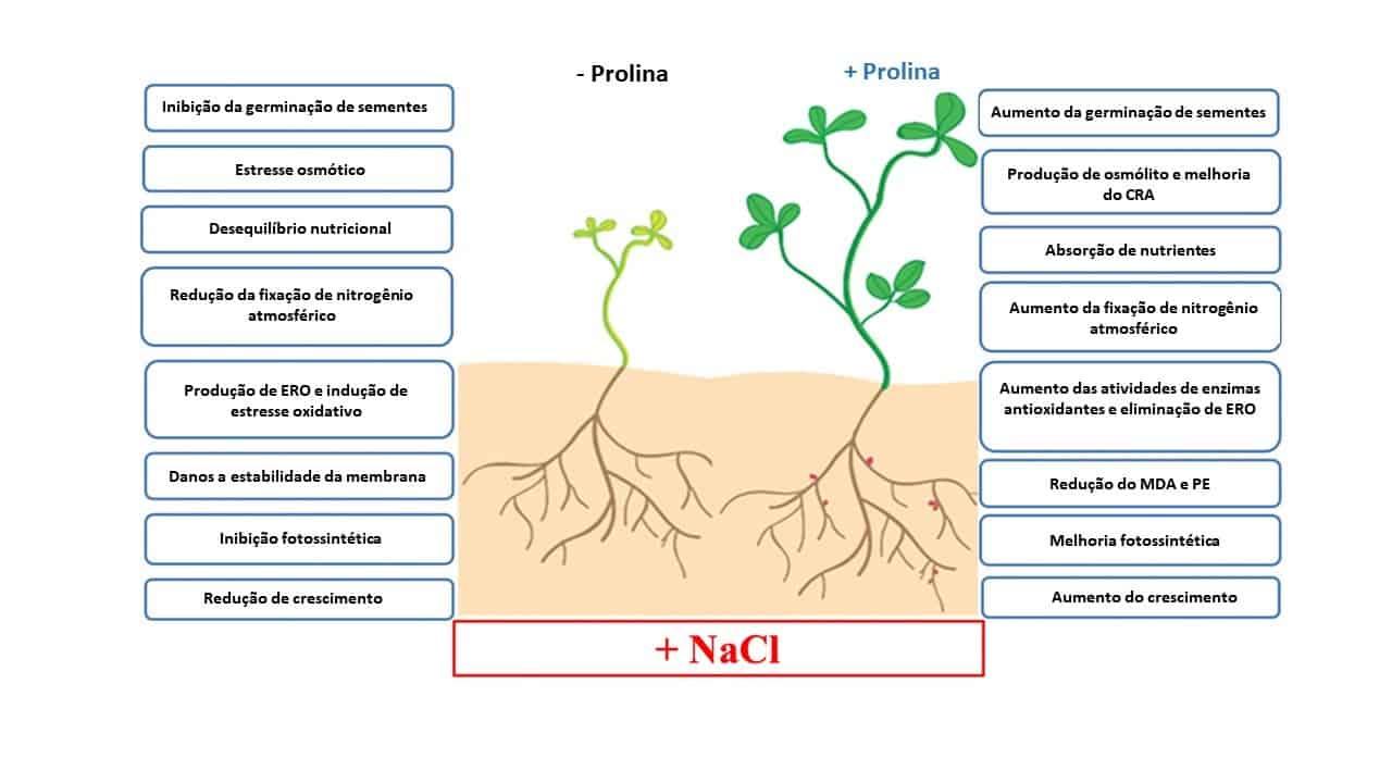 Principais efeitos da prolina exógena na tolerância aos sais vegetais (abreviaturas: CRA = conteúdo relativo de água; ERO = espécies reativas de oxigênio; MDA = malondialdeído; PE = perda de eletrólitos)