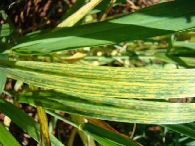 foto de mosaico comum do trigo com estrias amarelas nas folhas