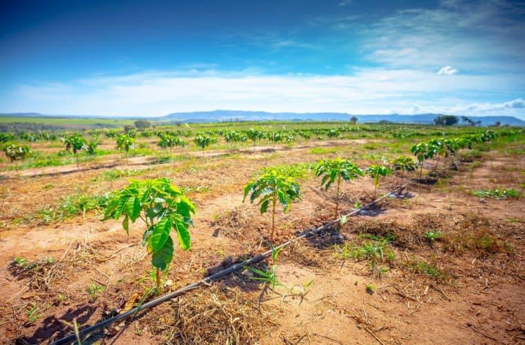 impactos da seca no plantio de café