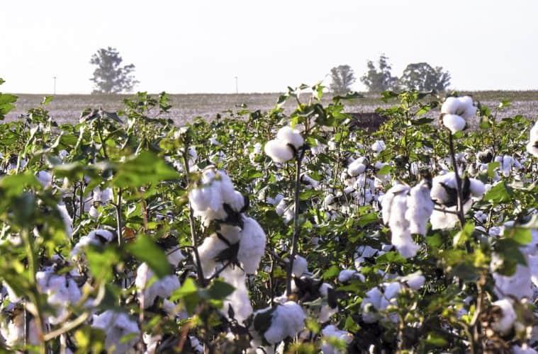 regulador de crescimento no algodão