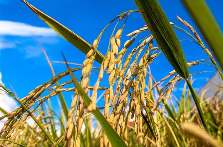 safra de arroz 2021