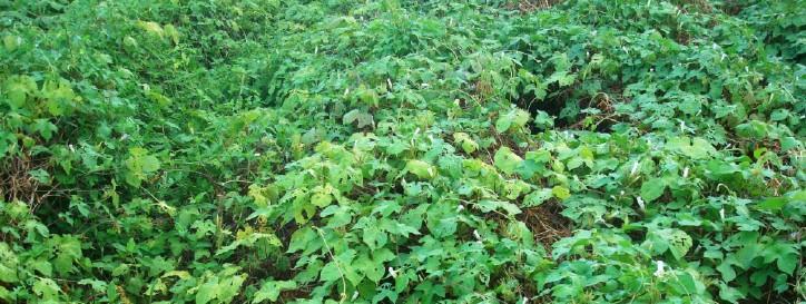 planta daninha corda-de-viola na cultura da soja
