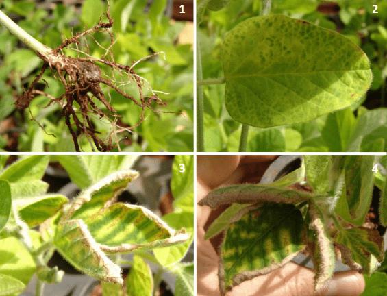fotos com podridão vermelha da raiz (foto 1); sintomas foliares iniciais (foto 2) e sintoma carijó (fotos 3 e 4)