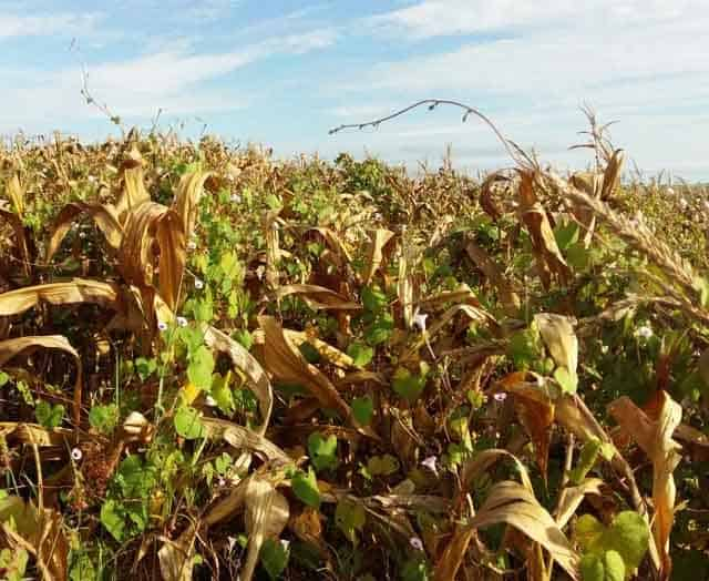 foto de planta daninha corda-de-viola no milho