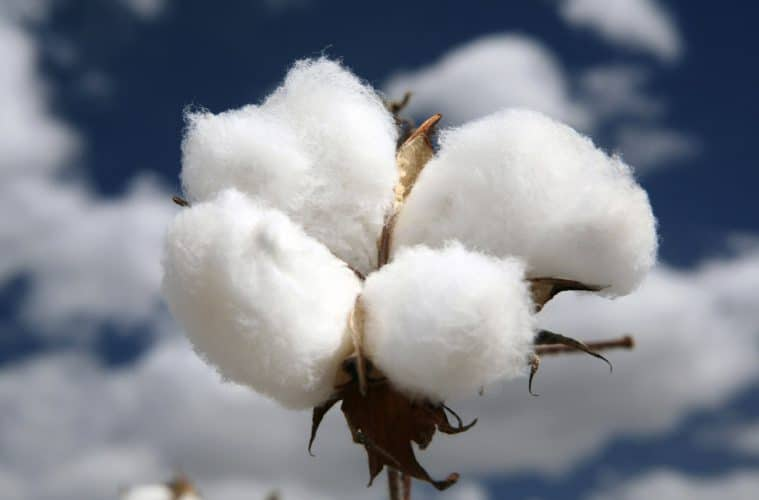 biotecnologia no algodão