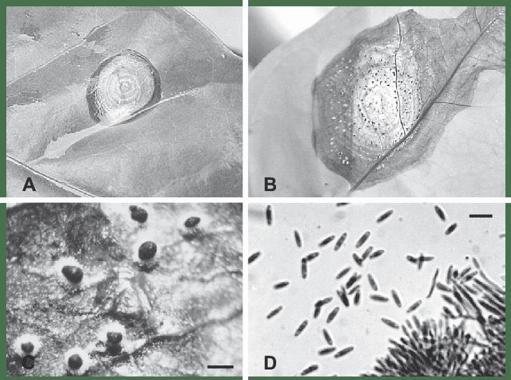 Lesões foliares iniciais (A); lesões foliares necróticas extensas, apresentando anéis concêntricos (B); sinais típicos do patógeno em lesão necrótica, os quais constituem esporodóquios com bordas de micélio branco e, ao centro, com massa negra de esporos (barra 200 µm) (C); e conídios maduros de M. roridum produzidos em fiálides (D)