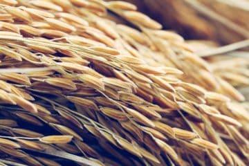 estimativa da produtividade de arroz