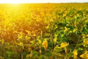 estresse térmico nas plantas