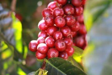 monitoramento de pragas no café