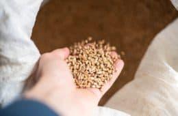 qualidade do trigo