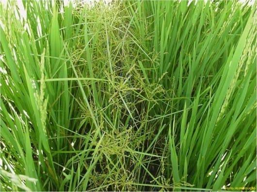 Plantas daninhas em lavoura de arroz