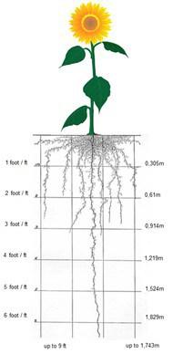 rotação de cultura com girassol - O sistema radicular do girassol, bastante ramificado e profundo auxilia na descompactação de solos adensados e na absorção de água e nutrientes