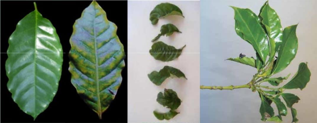 três fotos com sintomas da deficiência de boro em café: folhas verde-claras, deformadas e superbrotação