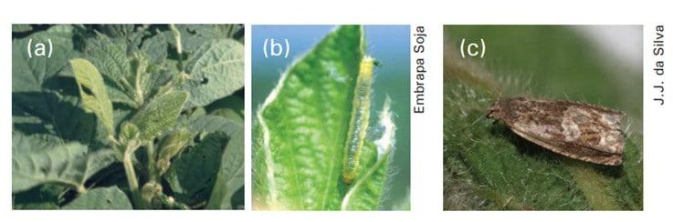 três fotos, a) dano causado nos brotos; b) lagarta; c) adulto de broca-das-axilas
