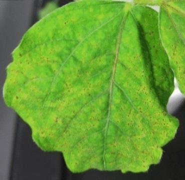 Folha de soja com pontos necróticos e clorose pela toxidez por manganês overfert