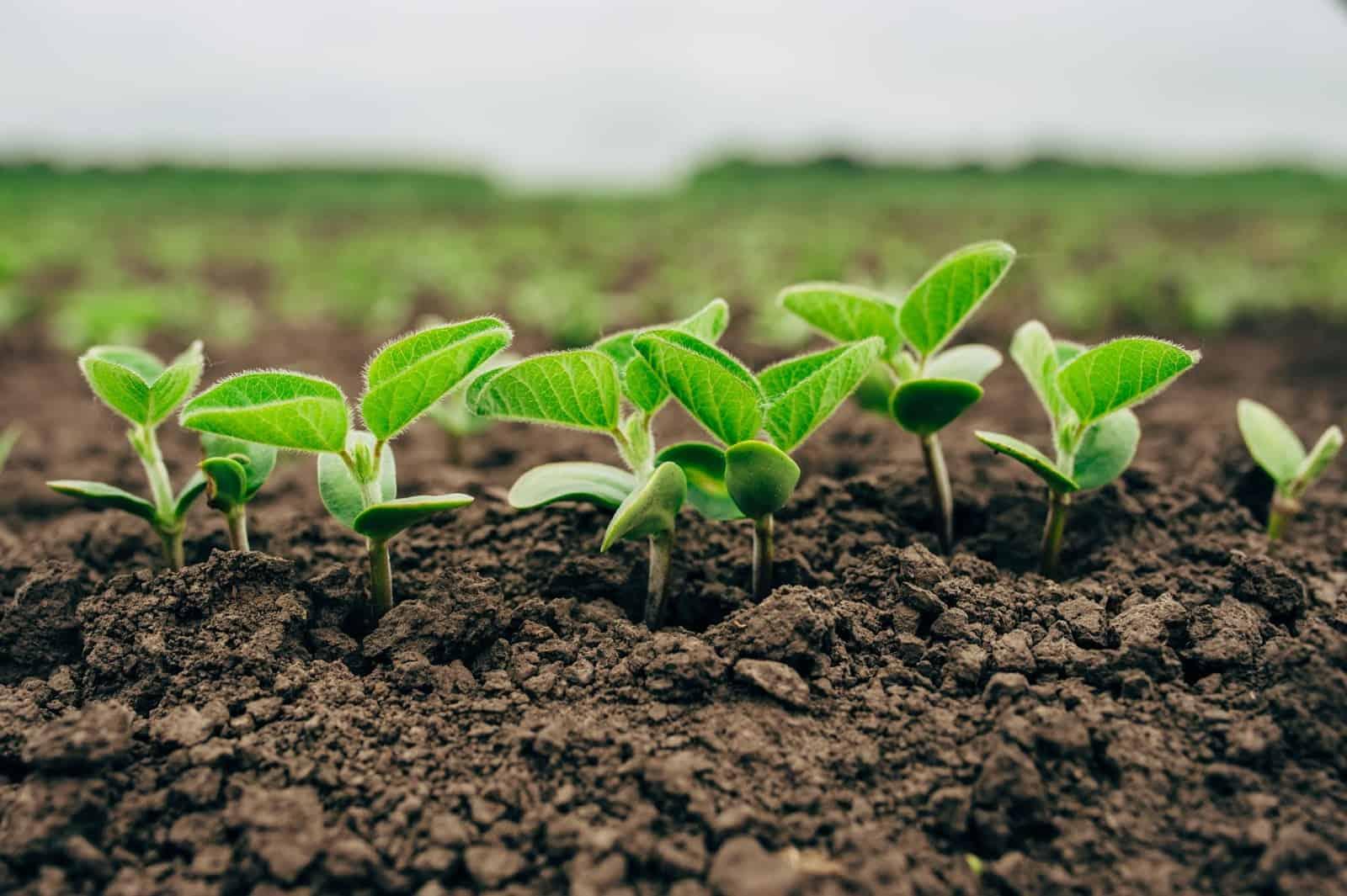 foto de soja em desenvolvimento, foco em mudas crescendo no solo