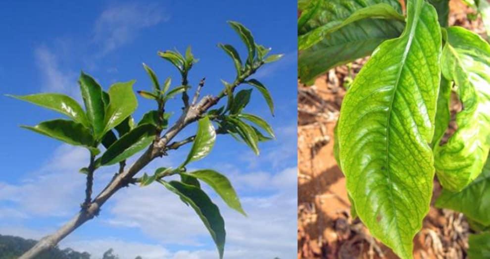 Sintomas da deficiência de boro em café: folhas alongadas e finas, nervuras verdes e limbo amarelado