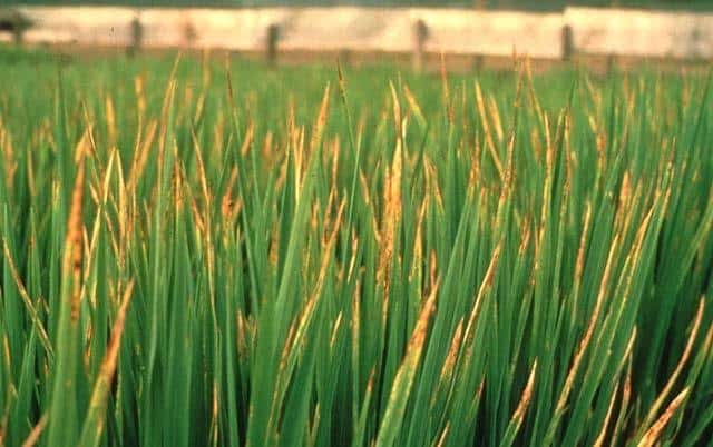 foto com sintomas de toxidez por boro em folhas de arroz overfert
