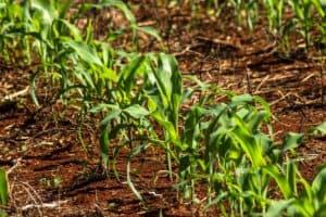 fenologia do milho