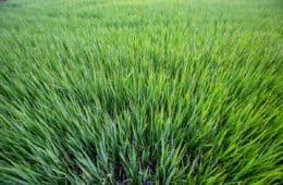 herbicidas para arroz