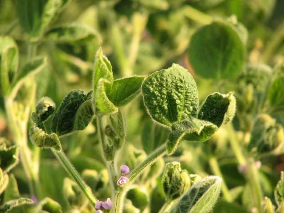 Plantas de soja com sintomas de encarquilhamento: folhas rugosas e retorcidas