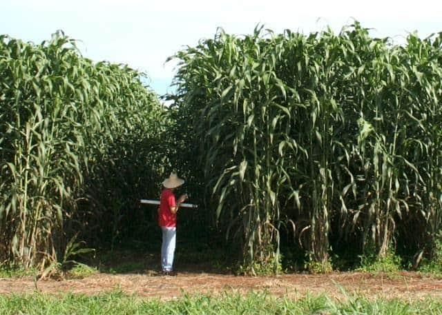 foto de plantação de sorgo biomassa com um agricultor de camiseta vermelha e chapéu de palha