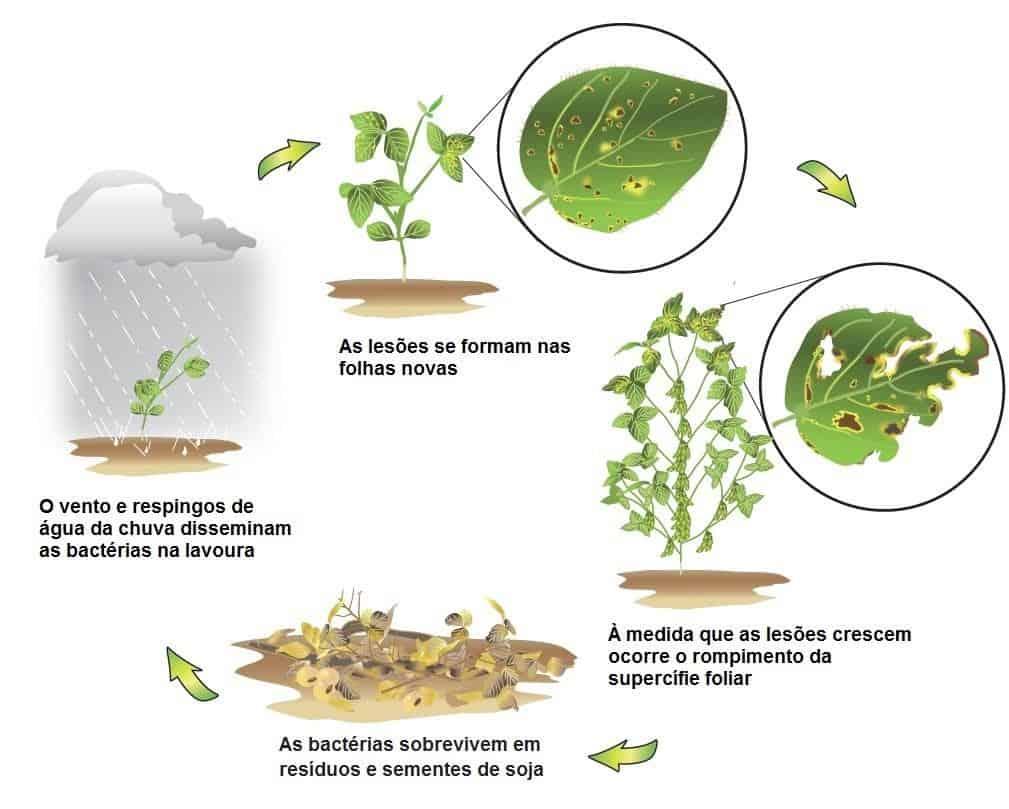 infográfico com ciclo do crestamento bacteriano na soja