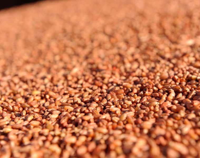 tratamento de sementes de trigo