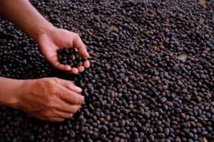 umidade do grão de café