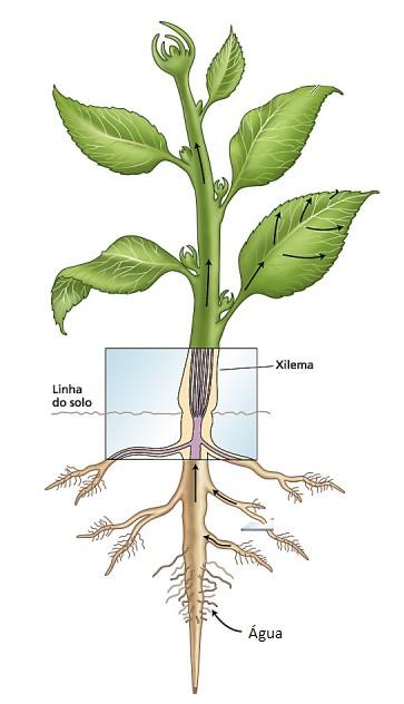 ilustração de transporte da água do solo para a planta