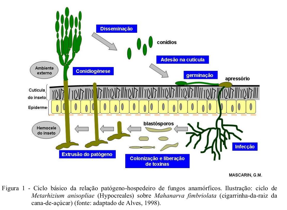 Ciclo da relação patógeno-hospedeiro de Metarhizium anisopliae sobre a cigarrinha-da-raiz da cana-de-açúcar (Mehanarva fumbriolata)