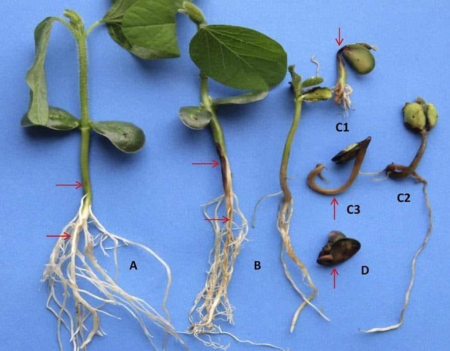 Sintomas de podridão radicular por fitóftora em mudas de soja: (A) leve descoloração das raízes e lesão com aspecto encharcado no caule; (B) lesão de coloração marrom no caule e raízes; (C1-C3) danos no hipocótilo e cotilédone; (D) podridão da semente