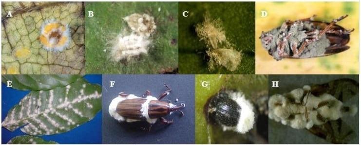 Diversidade de fungos entomopatogênicos colonizando diferentes insetos-praga. A) Aschersonia sp. em Bemisia tabaci, B) Lecanicillium longisporum em Orthezia praelonga, C) Isaria fimbriolata, E) Lecanicillium em Coccus viridis, F) Beauveria bassiana em Sphenophorus levis, G) B. bassiana em Hypothenemus hampei, H) B. bassiana em Anaestrpha sp