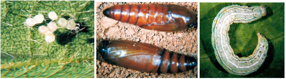 Ovos, pupa e larva de quinto ínstar de Anticarsia gemmatalis