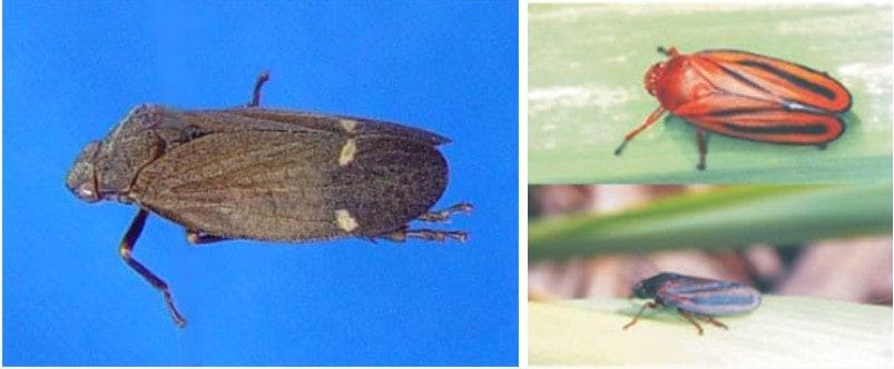 Mahanarva posticata (cigarrinha-da-cana-de-açúcar) à esquerda e M. fimbriolata  a direita, que causam danos nas folhas e raízes da cana-de-açúcar