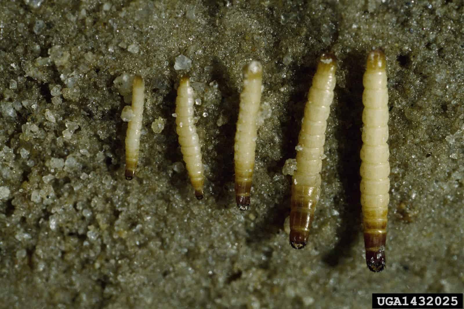 Larva arame em diferentes estágios