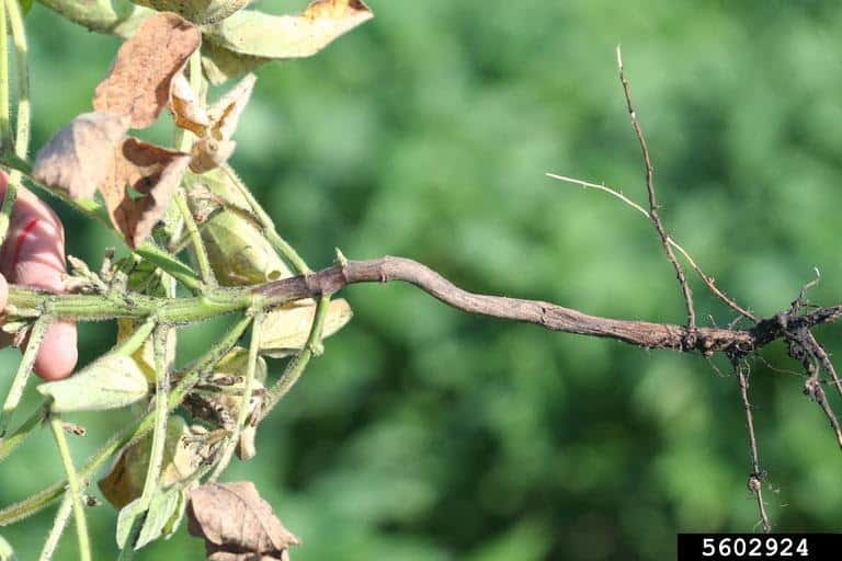 Sintomas de podridão da raiz e haste por fitóftora em soja