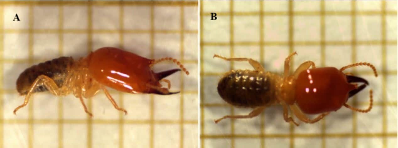 duas fotos de Cornitermes cumulans (cupim-da-cana-de-açúcar)