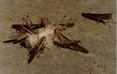 Schistocerca pallens - fungo entomopatogênico no controle de pragas