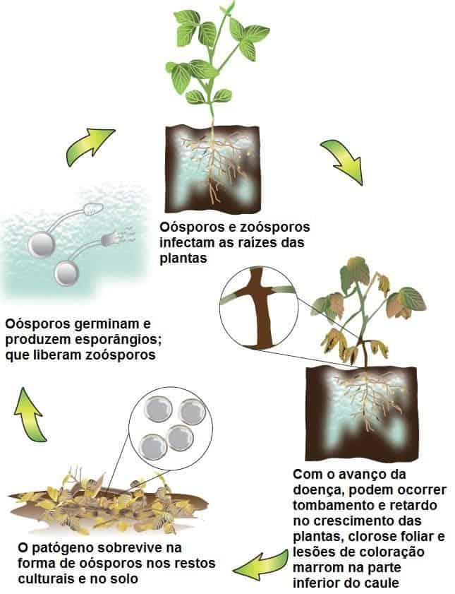 infográfico com ciclo da podridão radicular por fitóftora